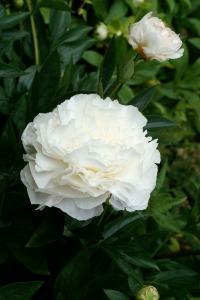Peony 'Duchess de Nemours'