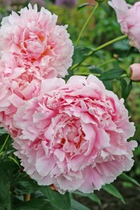 Peony 'Sarah Bernhardt'