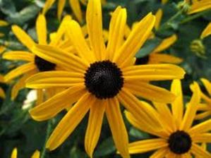 Rudebeckia 'Goldstrum' (Black Eyed Susan)