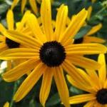 Rudbeckia 'Goldstrum' (Black-Eyed Susan)