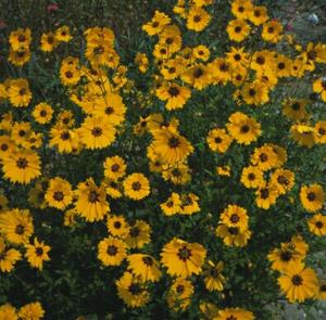 Coreopsis 'Domino'
