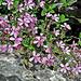 Saponaria (Soapwort)
