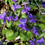 Viola Odorata (Sweet Wood Violet)