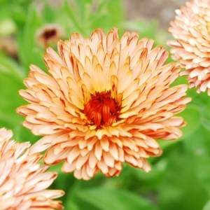 Calendula Triangle Flash Back