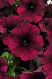 Petunia 'Easy Wave Burgundy Velour'