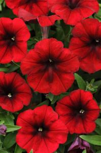Petunia 'Easy Wave Red Velour'