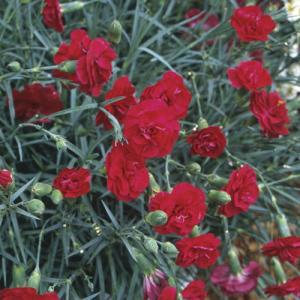 Carnation 'Ruby Tuesday'
