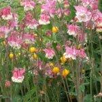 Columbine 'Pink Petticoat'