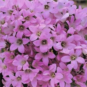 Campanula ' Dwarf Pink Bellflower'