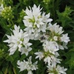 Campanula glomerata 'White Clustered Bellflower'