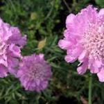 Scabiosa 'Pink Mist'