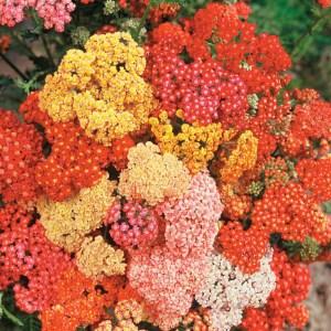 Yarrow 'Summer Berries' (Achillea)