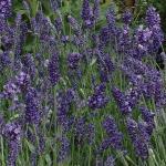 Lavender 'Ellegance Purple'