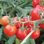 Tomato 'Peacevine Cherry'