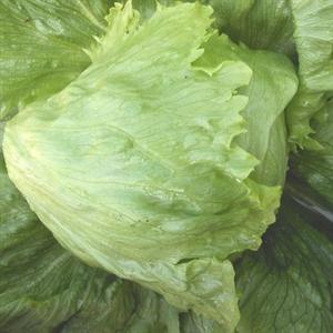 Lettuce 'Summertime'