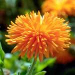 Calendula, 'Porcupine'