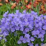 Campanula, 'Peach Leaved Blue'