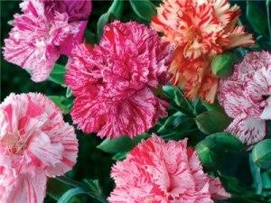 Carnation 'Chabaud Mix'