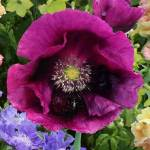 Poppy, 'Lauren's Grape'