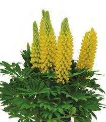Lupine 'Chandelier Yellow'