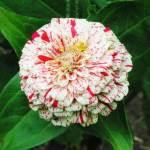 Zinnia, 'Peppermint Stick'