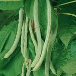 Bean 'Kentucky Wonder'