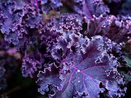 Kale, 'Scarlet'