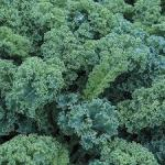 Kale 'Blue Scotch'