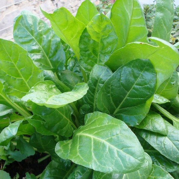 Chard - Perpetual Spinach