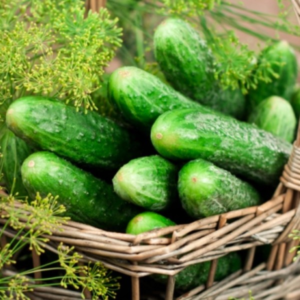 Cucumber - Bushy   Organic  