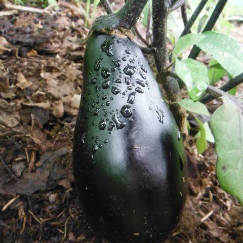 Eggplant - Black Beauty   Organic  