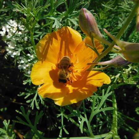 Flowers - Beneficial Insect Mix