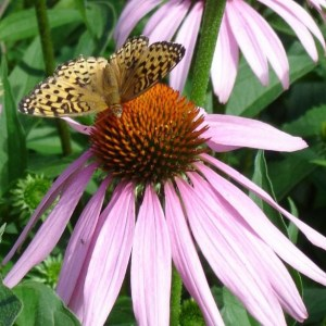 Flowers - Echinacea purpurea | Organic |