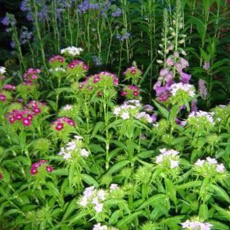 Flowers - Sweet William