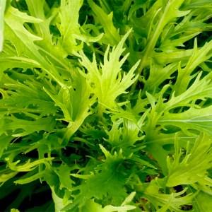 Greens - Mizuna