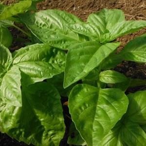 Herbs - Basil - Napoletano