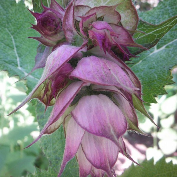 Herbs - Clary Sage