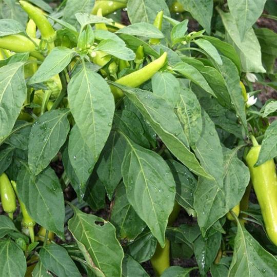 Hot Pepper Hungarian Hot Wax Hope Seeds