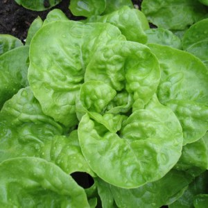 Lettuce - Buttercrunch - Kweik   Organic  