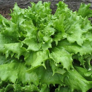 Lettuce - Crisphead - Jack Ice | Organic |