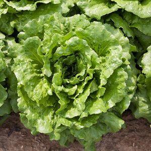 Lettuce - Dark Green Romaine