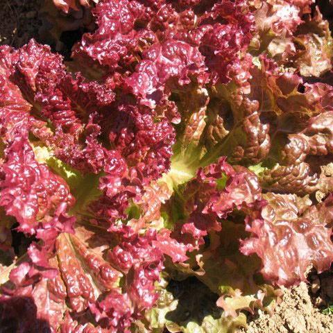 Lettuce - Red Leaf - Ruby