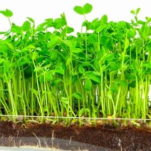 Pea Shoots | Organic |