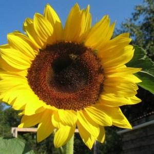Sunflower - Peredovik