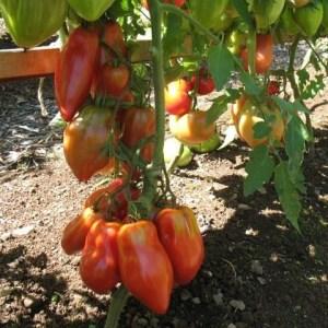 Tomato - Bernardo's Paste