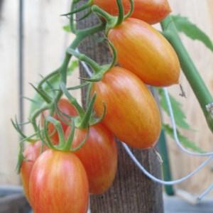 Tomato - Blush