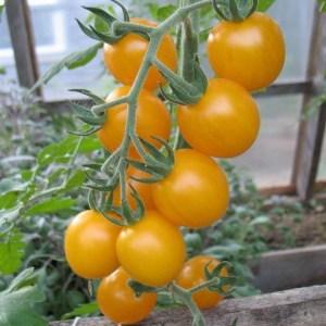 Tomato, Cherry - Galina | Organic |