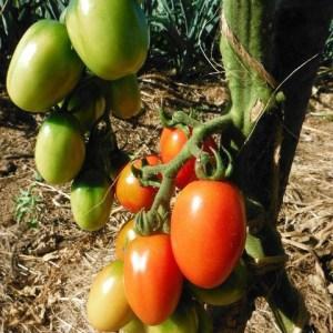 Tomato - Italia