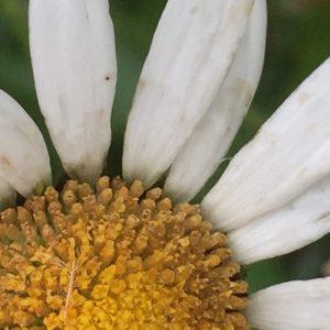 Sun flower close up