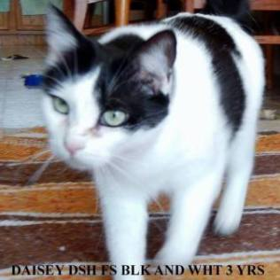 Daisy. This girl is a lover. Thrives on attention. Roll up a little paper ball and she will fetch it til your tired of throwing it. Likes laps and to be close to you